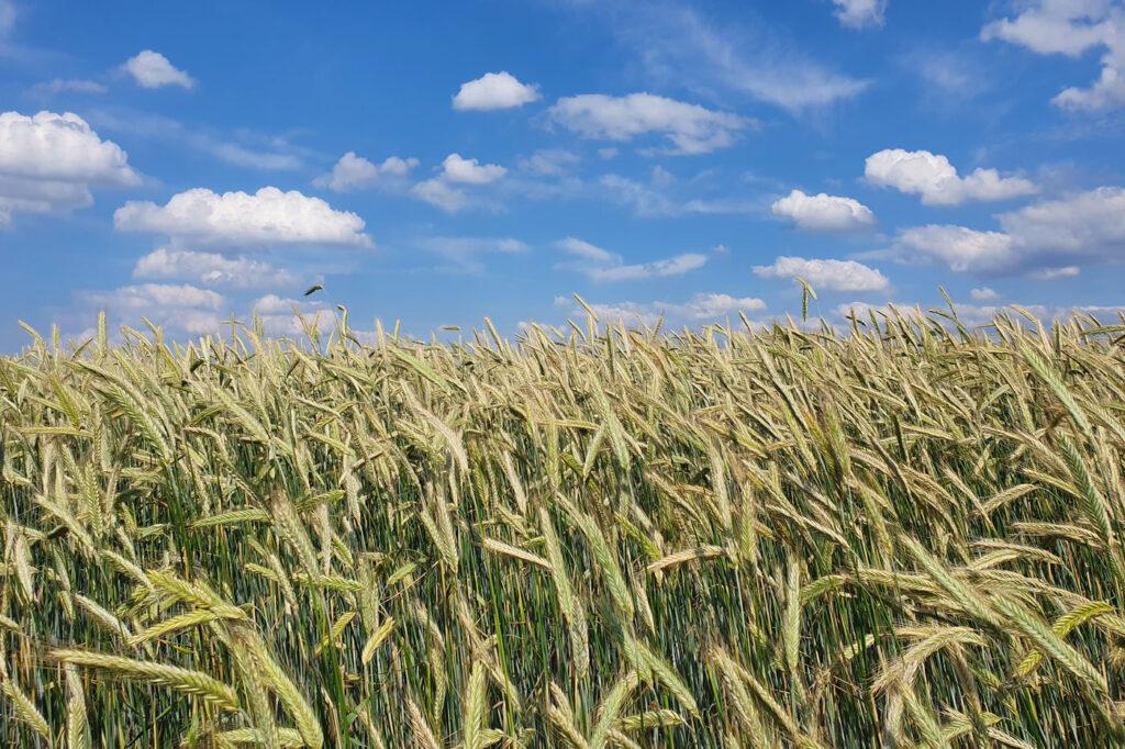 Schwerpunkt von Öko-Korn-Nord ist Handel mit Speisegetreide und Futtergetreide